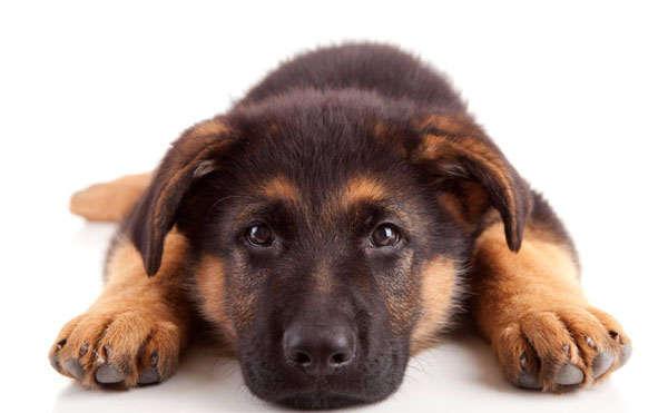 пес в помощь охране