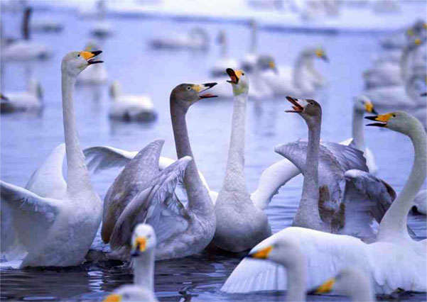 стая лебедей